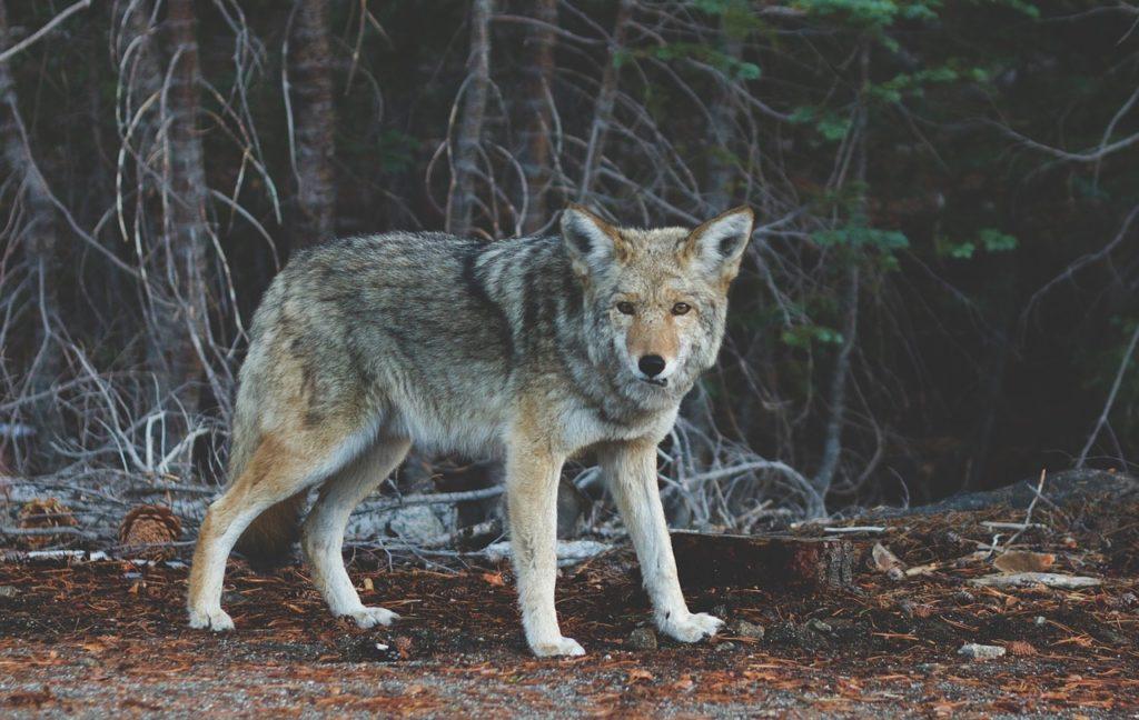 indianisches-sternzeichen-wolf